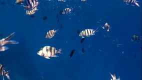 Lot of sergeant fish in sea stock footage