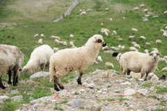 A lot of sheep. Many sheep grazing on the mountain top Stock Image
