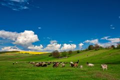 A lot sheep. On the beautiful green meadow royalty free stock image