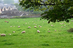 Lot of sheep feeding grass in the nature Stock Photography