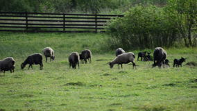 A lot of sheep grazing. stock footage