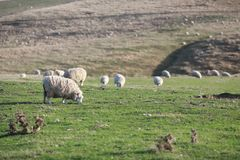 Lot of sheeps in new zealand royalty free stock photos