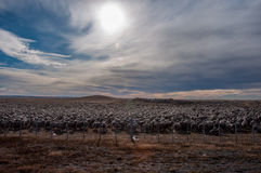That is a lot of sheeps, Tierra del Fuego, Argentina Royalty Free Stock Image