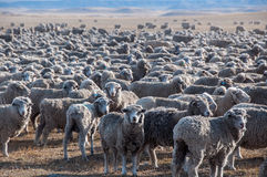 That is a lot of sheeps, Tierra del Fuego, Argentina Royalty Free Stock Photos