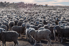 That is a lot of sheeps, Tierra del Fuego, Argentina Royalty Free Stock Images