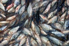 A lot of small dead fish in water. Small white fish in troubled waters Royalty Free Stock Image