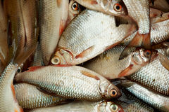 A lot of small fish, close-up Royalty Free Stock Image