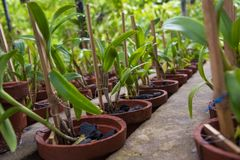 Lot of small orchid flowers in the pots Stock Image