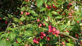 Lot of small red apples on branches against green leaves stock video