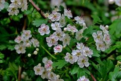 A lot of small white flowers blooming in spring stock photo