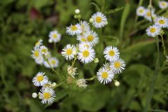 Small flowers similar to chamomile Royalty Free Stock Photography
