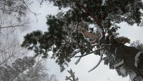 A lot of snow falls from a branch of a huge pine tree. bottom up view. A lot of snow falls from a branch of a huge pine tree. bottom up view stock video footage