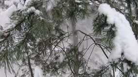 A lot of snow falls from the branches of spruce. Close-up. Beautiful winter forest. A lot of snow falls from the branches of spruce. Close-up. Beautiful winter stock video footage