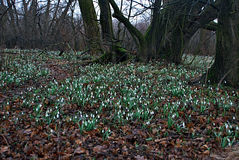 Lot of Snowdrop flowers in early spring forest Royalty Free Stock Photo