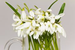 Bunch of snowdrops in glass vase isolated on white background Stock Photo