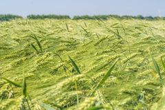 A lot of spinous ears of barley, like waves on the sea, swing from the gusts of the wind stock image
