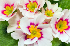 A lot of spring  flowers of colorful primula Stock Photography