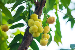 A lot of Star gooseberry, tropical fruit Royalty Free Stock Photos