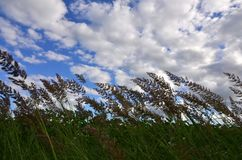 A lot of stems from green reeds grow from the river water under the cloudy blue sky. Unmatched reeds with long stem. S Royalty Free Stock Photography