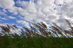 A lot of stems from green reeds grow from the river water under the cloudy blue sky. Unmatched reeds with long stem. S Stock Images