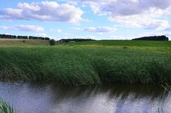 A lot of stems from green reeds grow from the river water under the cloudy blue sky. Unmatched reeds with long stem. S Royalty Free Stock Photo