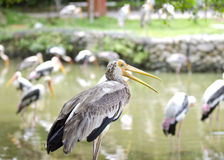 A lot of Stork birds Stock Images