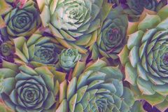 Succulents aeonium, close-up. A lot of succulents aeonium, growing a heap, close-up Stock Photo