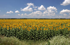 It is a lot of sunflowers Stock Photos