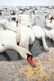 Lot of swans Stock Photo