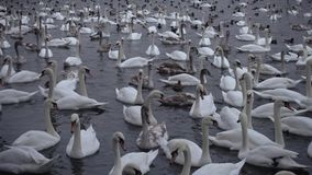Lot of swans and ducks in the river Vltava Stock Images