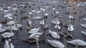Lot of swans and ducks in the river Vltava stock video