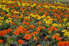 Lot of tagetes. Lot of bright orange and yellow tagetes flowers on a field Royalty Free Stock Images