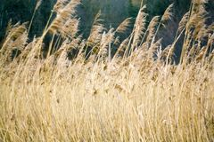 Tall dry grass sways in the wind. A lot Tall dry grass sways in the wind Royalty Free Stock Photos