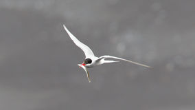 lot tern arktyki Obraz Royalty Free