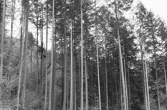 A lot of tree trunks in a fir forest Germany, Europe royalty free stock image