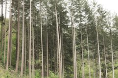 A lot of tree trunks in a fir forest Germany, Europe stock photo