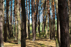 lot  trees  forest Royalty Free Stock Photos