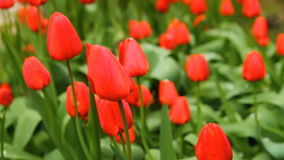 A lot of tulips in a bed swaying in the wind. HD stock footage