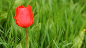 A lot of tulips in a bed swaying in the wind. HD stock video footage