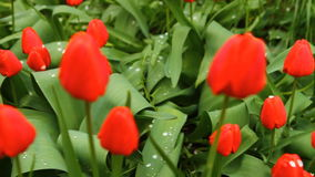 A lot of tulips in a bed swaying in the wind. HD stock video