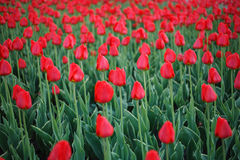 A lot of tulips in the field Royalty Free Stock Photo