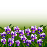 A lot of violet pansy flowers on background of leaves.  Royalty Free Stock Photography