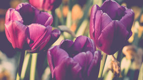Lot of vivid violet tulips, spring, outdoors. Lot of vivid violet tulips on field with some white on backgriund, spring, outdoors Royalty Free Stock Photography