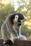 Plush lemur, Ring-tailed Lemur Stock Photos