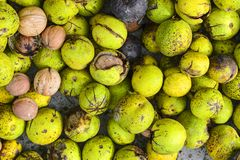 Many uncleaned fresh walnuts and already open halves of nuts. A lot of walnuts on a canvas background. Many uncleaned fresh walnuts and already open halves of stock photography