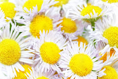 A lot of White camomiles. Stock Photography
