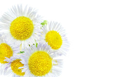 A lot of White camomiles. Isolated on a white Stock Image