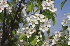 A lot of white cherry blossom Royalty Free Stock Photos