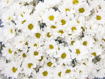 A lot of white chrysanthemums. Bouquet of white chrysanthemums for a background Stock Photos