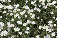 A lot of white flowers Royalty Free Stock Photos